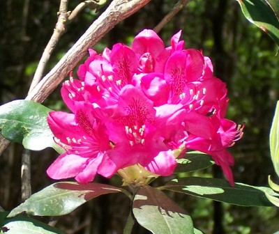 rhododendron flower at the cabin